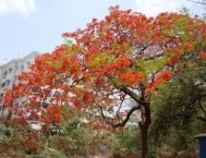 Jacaranda 3