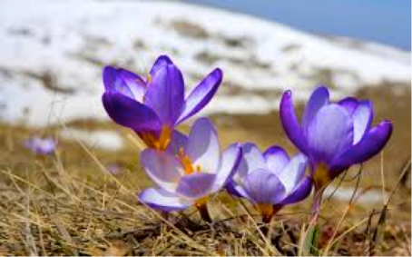 Snow Crocus (1)